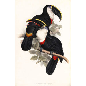 Culmenated Toucan Plate 029 John Gould A Monograph of Ramphastidae or Family of Toucans