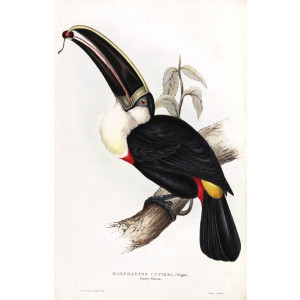Cuvier's Toucan Plate 033 John Gould A Monograph of Ramphastidae or Family of Toucans