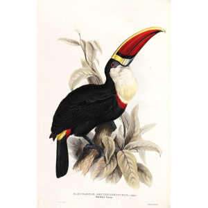 Red Billed Toucan Plate 037 John Gould A Monograph of Ramphastidae or Family of Toucans