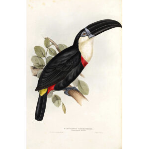 Lemon Rumped Toucan Plate 041 John Gould A Monograph of Ramphastidae or Family of Toucans