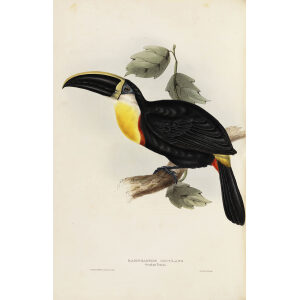 Osculant Toucan Plate 045 John Gould A Monograph of Ramphastidae or Family of Toucans