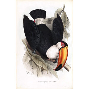 Toco Toucan Plate 049 John Gould A Monograph of Ramphastidae or Family of Toucans