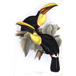 Swainsons Toucan Plate 057 John Gould A Monograph of Ramphastidae or Family of Toucans