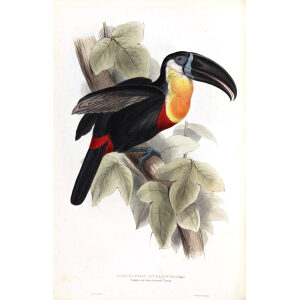 Sulphur and White Breasted Toucan Plate 061 John Gould A Monograph of Ramphastidae or Family of Toucans