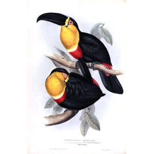 Ariel Toucan Plate 065 John Gould A Monograph of Ramphastidae or Family of Toucans