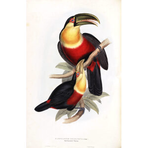 Red Breasted Toucan Plate 069 John Gould A Monograph of Ramphastidae or Family of Toucans