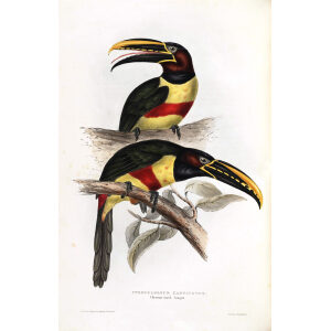 Chestnut Eared Aracari Plate 079 John Gould A Monograph of Ramphastidae or Family of Toucans