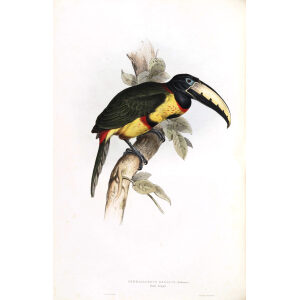 Royal Aracari Plate 083 John Gould A Monograph of Ramphastidae or Family of Toucans