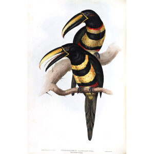 Many Banded Aracari Plate 087 John Gould A Monograph of Ramphastidae or Family of Toucans