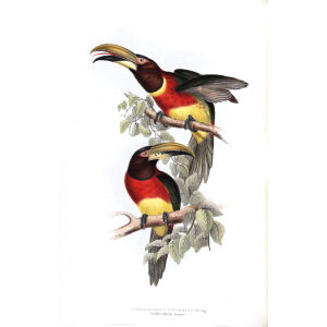 Double Colored Aracari Plate 091 John Gould A Monograph of Ramphastidae or Family of Toucans