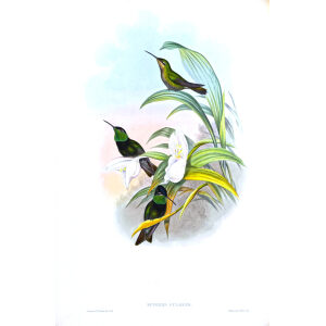 John gould - Family of Humminbirds - Museum quality giclee print