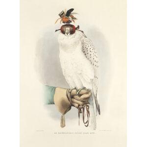 Schlegel Fauconnerie - Le Groënlandais faucon blanc mué