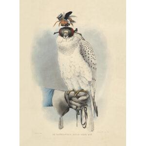 Schlegel Fauconnerie - Le Groënlandais faucon blanc mué (b)