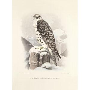 Schlegel Fauconnerie - Le tiercelet hagard de faucon d'Islande