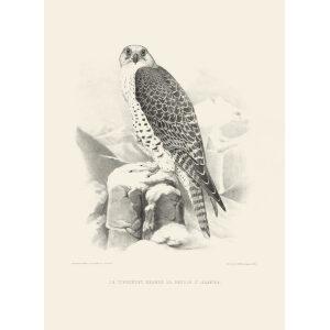 Schlegel Fauconnerie - Le tiercelet hagard de faucon d'Islande (bw)