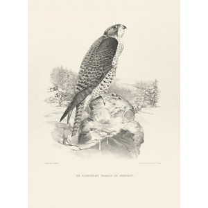 Schlegel Fauconnerie - Le tiercelet hagard de gerfaut (bw)