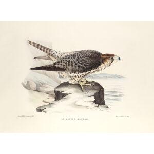 Schlegel Fauconnerie - Le lanier hagard