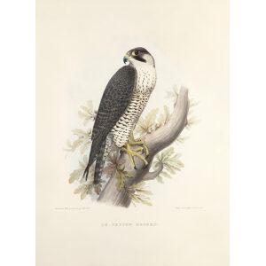 Schlegel Fauconnerie - Le faucon hagard