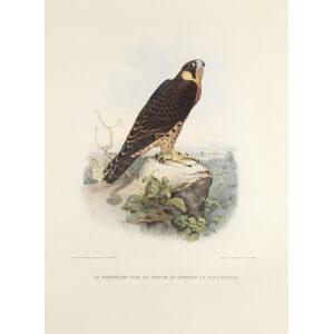 Schlegel Fauconnerie - Le tiercelet sors de faucon au plumage de cresserelle
