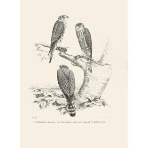 Schlegel Fauconnerie - L'émérillon hagard (bw)